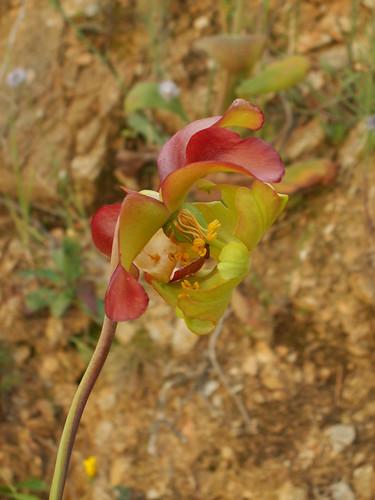 Sarracenia leucophylla 34318248323_f4dee4322e