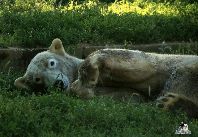 Eisbär Fiete im Sosto Zoo 28.05.2017 248