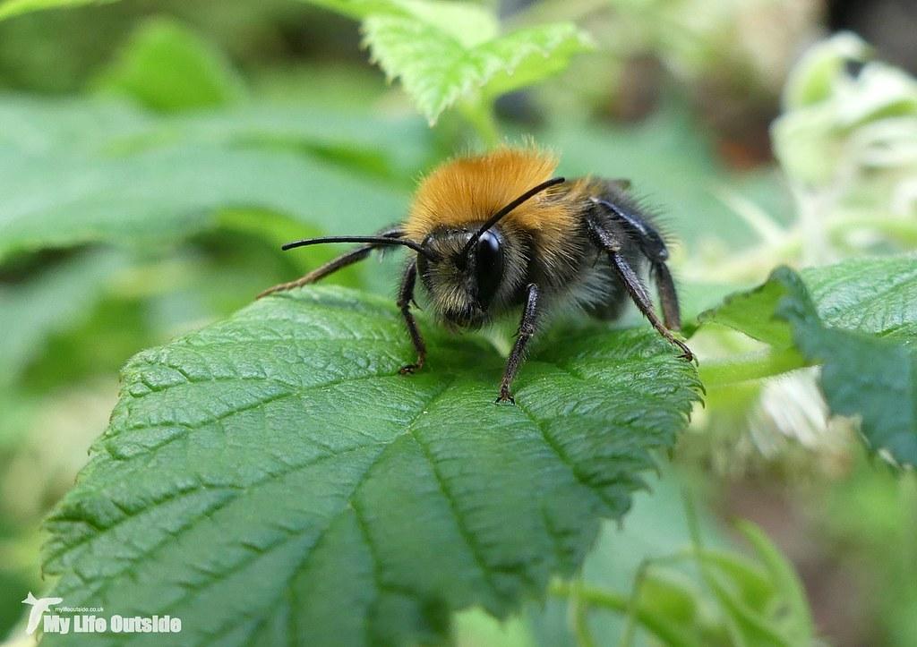 P1080262 - Tree Bumblebee