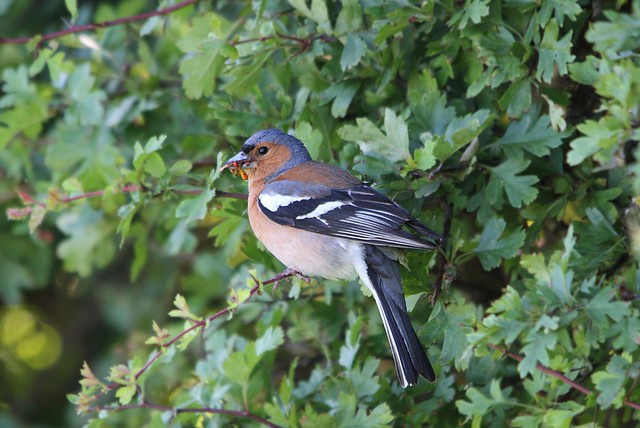 Male Chaffinch with food