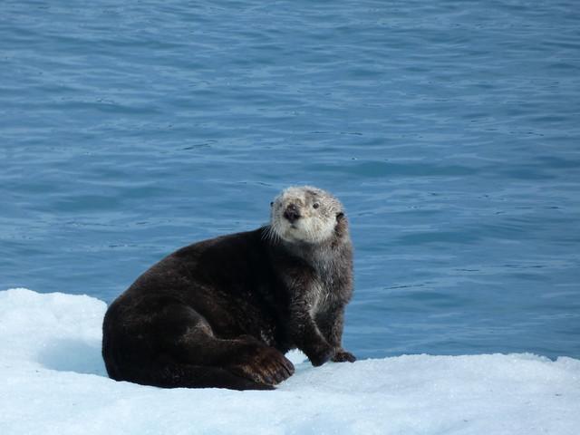 Nutria marina en Alaska