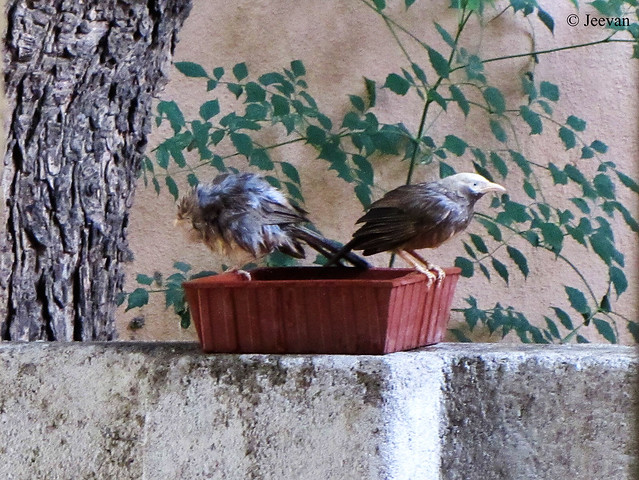 Babblers at my birdbath