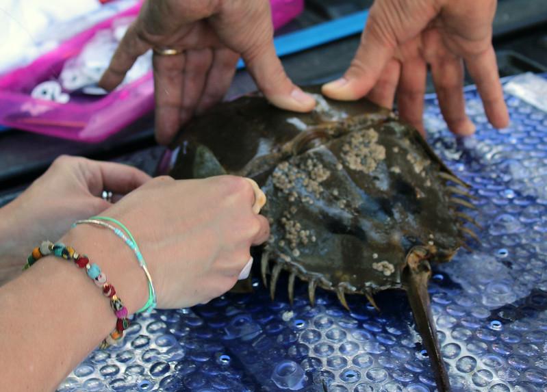 Horseshoe Crab Citizen Science Project Cedar Key