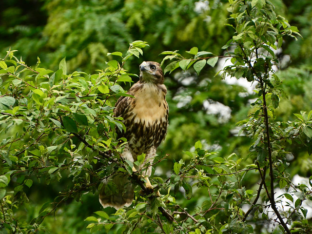 GT Red-Tail Fledgling - 5036