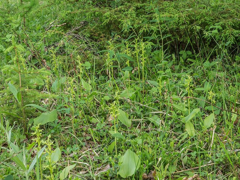 Hooker's Bog orchid