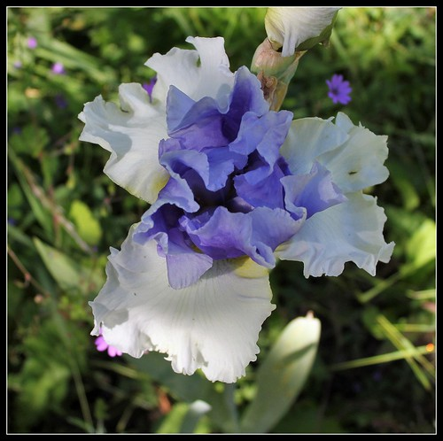Iris 'Alpenview' - Keith Keppel 2002 35175632315_7f7672b326