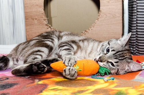 Tango, gato Siamés Tabby de colita corta esterilizado muy guapo, nacido en Enero´16, en adopción. Valencia. ADOPTADO. 35255077262_8f729ec2ea