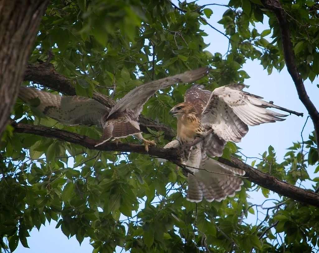 Tompkins red-tail fledglings