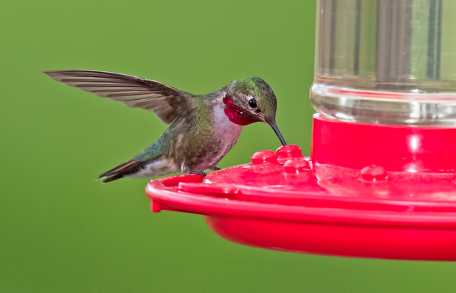 Broad-Tailed-Hummer-6-7D2-053117