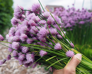 Chive Blossoms | by gapey