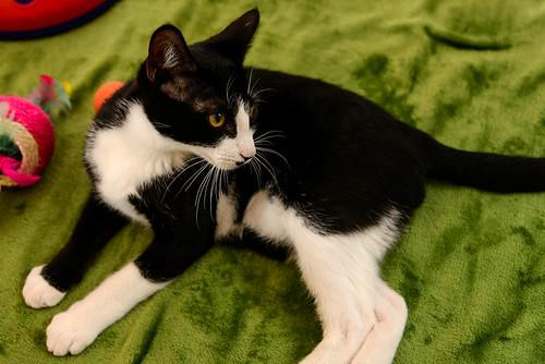Clooney, gatito blanquinegro muy guapo con perilla, apto para perros y esterilizado nacido en Enero´17, en adopción. Valencia. ADOPTADO. 34913385952_0100da7d70