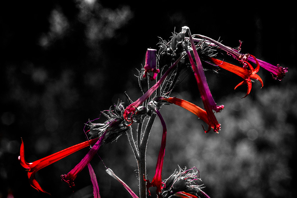 Fairy Trumpet - Lower Cataract Lake, Summit County, CO :Select Color Process