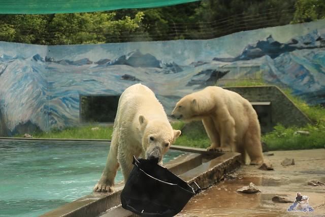 Eisbär Fiete im Zoo Sosto 30.05.2017 074