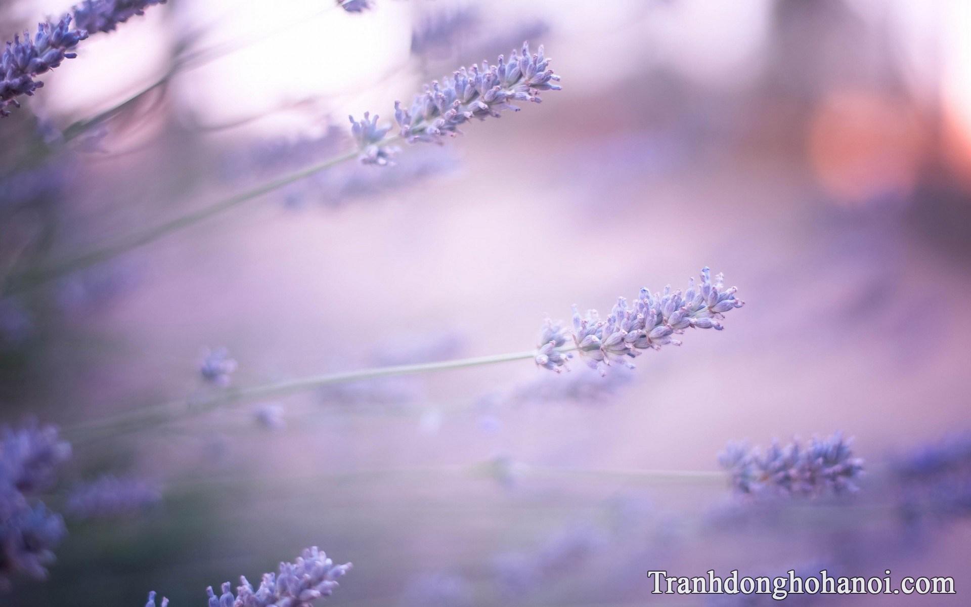 Mau anh hoa oai huong cuc dep tai AmiA