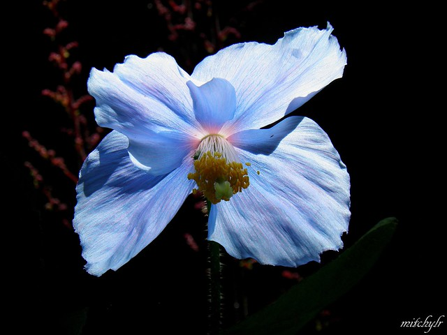 Backlit Blue Poppy 2