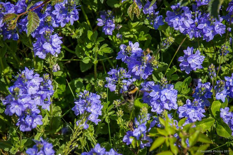 Flores azules en la orilla del Camí del Carrilet