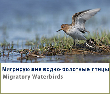 Migratory waterbirds-ID