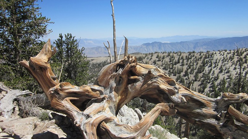 A view out over Nevada from the Methuselah Trail