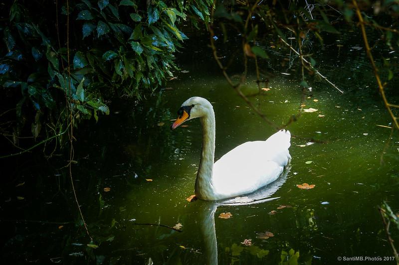 Cisne blanco en el Lago Pequeno de Buçaco