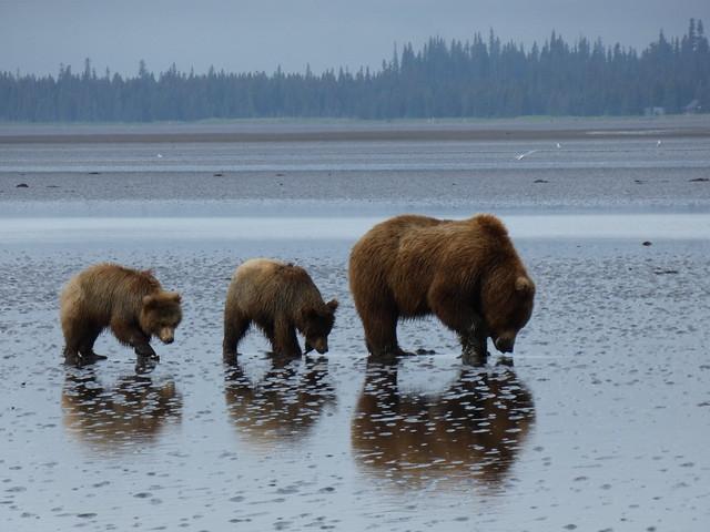 Osos fotografiados en Alaska y que podríamos ver en Kamchatka en 2019