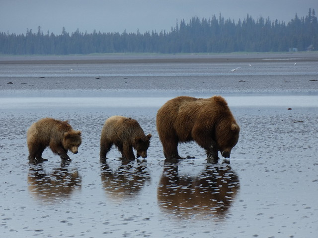 Osos en una playa de Lake Clark (Alaska)