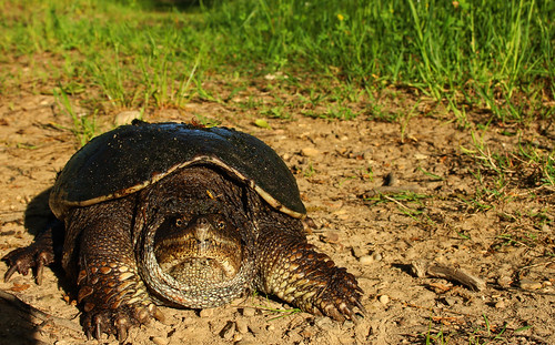 Snapping turtle (Chelydra serpentina) | by phl_with_a_camera1
