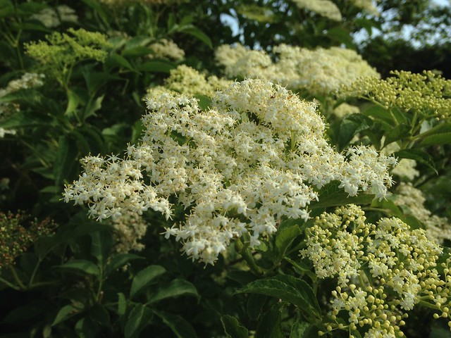Tendrils: Elderflowers