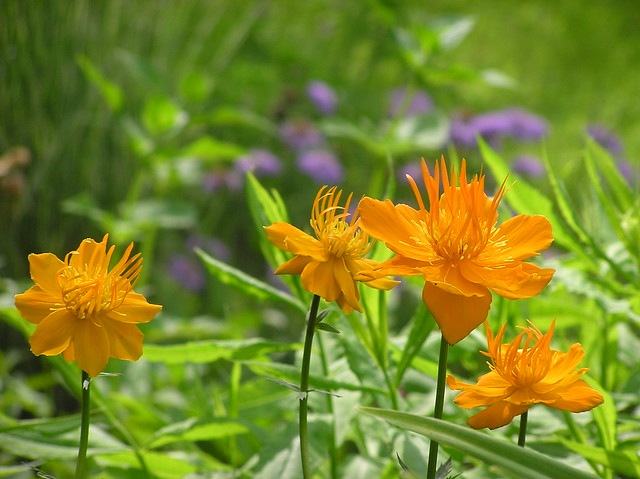 Trollius chinensis 'Goldkönigin'
