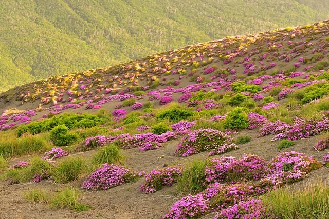 高千穂峰 ミヤマキリシマのお花畑