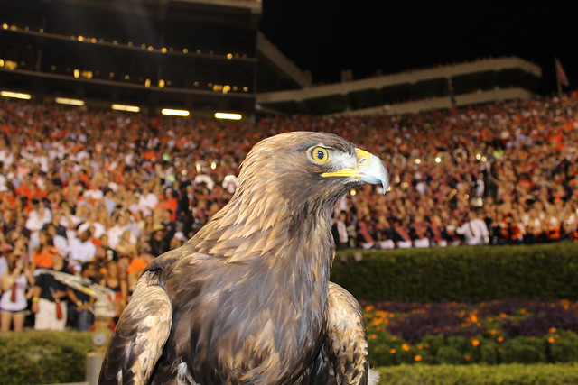 An image of Nova, the golden eagle known as War Eagle VII