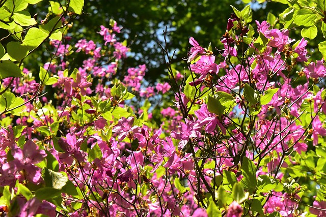 畦ヶ丸のミツバツツジ