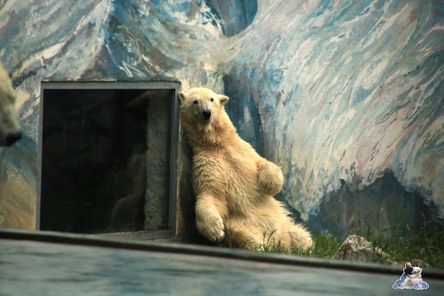 Eisbär Fiete im Zoo Sosto 30.05.2017 158