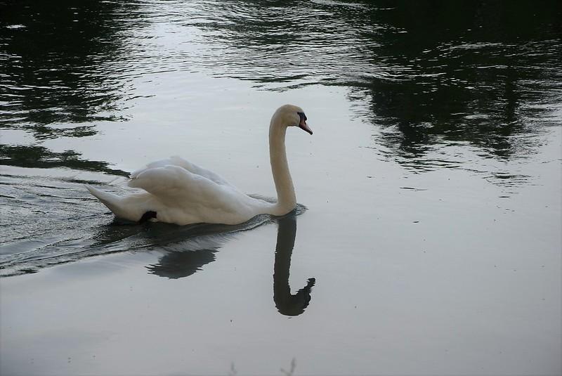Swan 05.06 (10)
