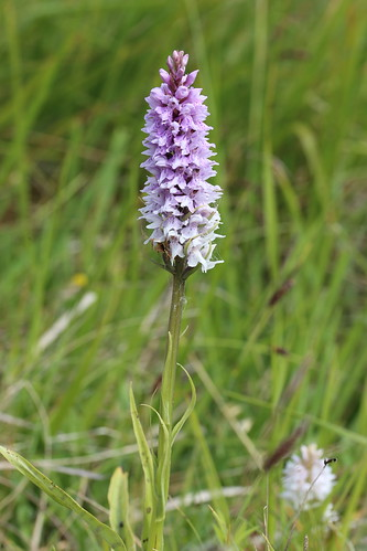Common Spotted Orchid Dactylorhiza fuchsii
