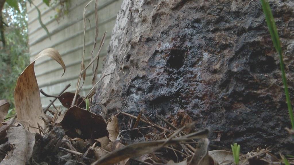 911-2-13 六龜120多棵土芒果樹,異常枯黃落葉,靠近根部的樹幹上,明顯遭人鑽孔灌入化學液體。