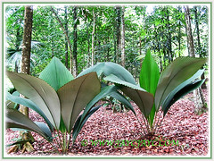 Johannesteijsmannia magnifica (Silver Joey, Umbrella Palm, Daun Payung) with diamond-shaped foliage, 1 Aug 2009