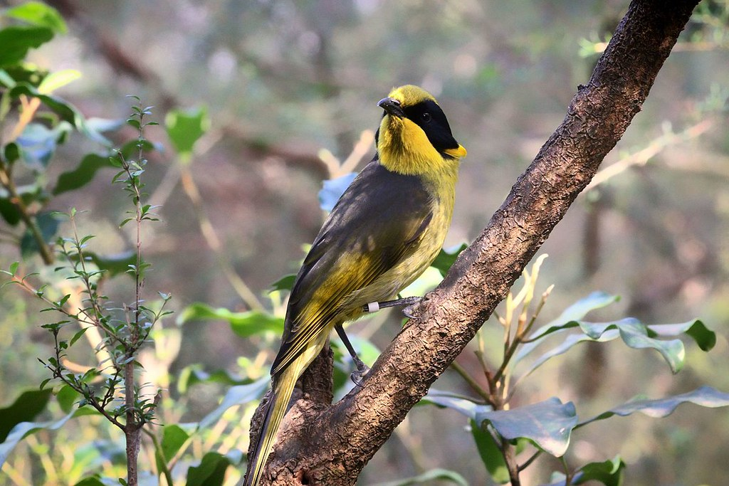 The Helmeted Honeyeater, a subspecies of the Yellow-tufted Honeyeater and the state bird of Victoria. 圖片來源: Dylan Sanusi-Goh ( Wikimedia Commons, CC 4.0)