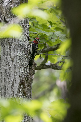 Adirondacks: Yellow-bellied Sapsucker
