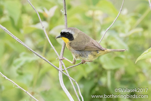 Common Yellowthroat | by Bothering Birds