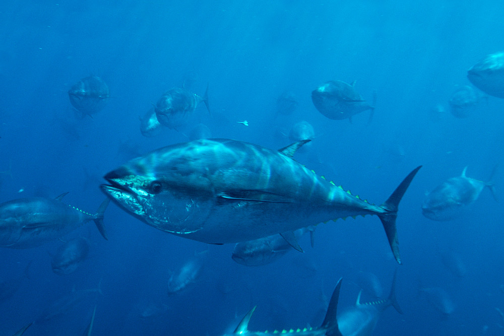 太平洋黑鮪魚群。圖片來源:WWF。