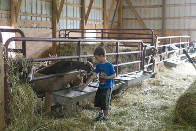 goat farm-45