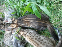 Kittens ready soon leopard girl and boy marble boy and girl and silver rosetted boy and girl. Sweet bengal babies