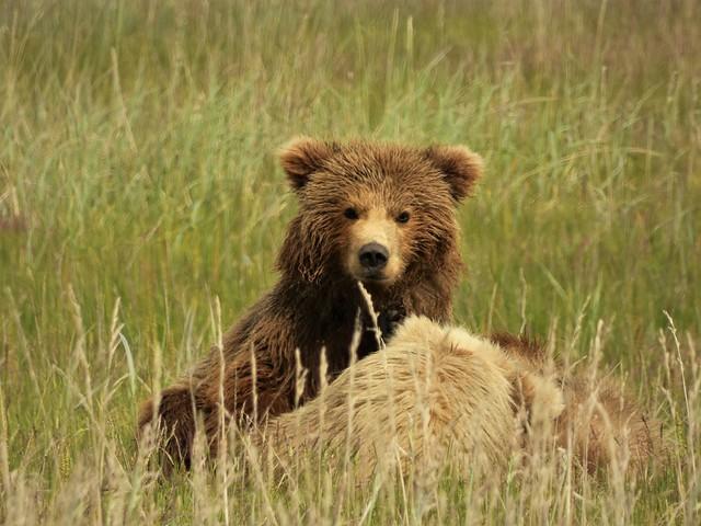 Cría de oso pardo en Alaska (Lake Clark)