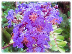 Purple coloured flowers of Lagerstroemia (Crape Myrtle, Crepe Myrtle/Flower, Japanese/Indian Crape Myrtle), 1 June 2017