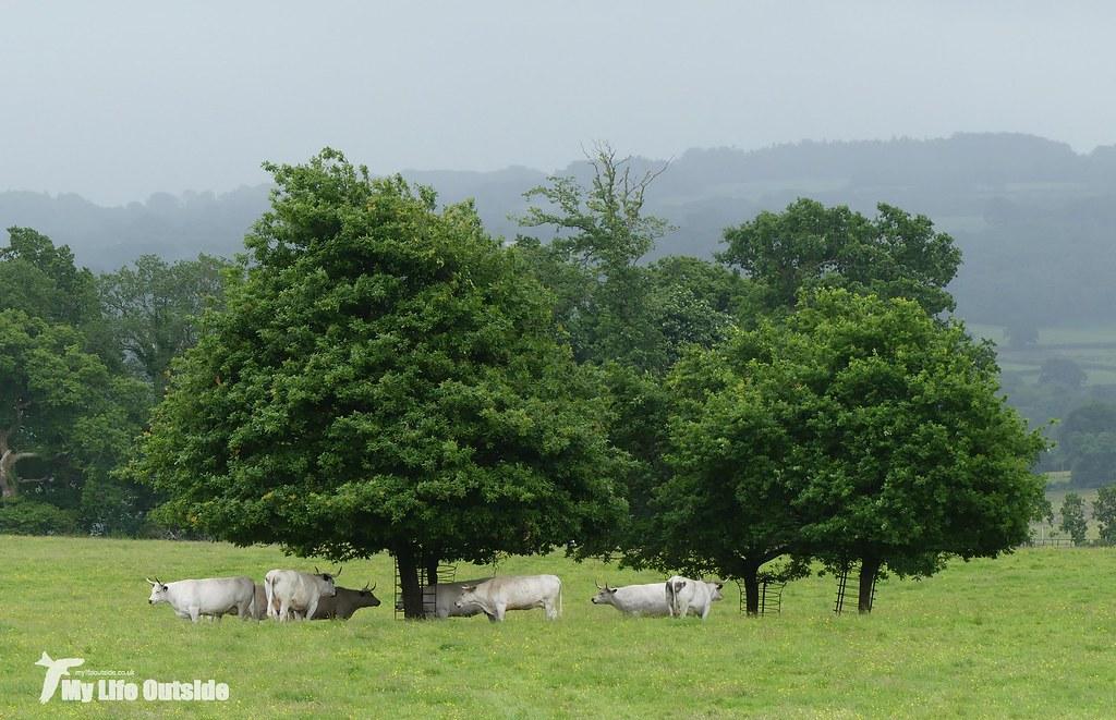P1080638 - White Psrk Cattle, Dinefwr
