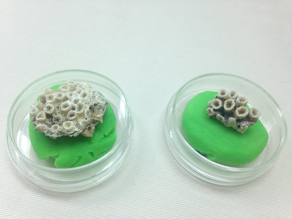 柴山多杯孔珊瑚標本。左為大潭藻礁採集的樣本。攝影:廖靜蕙