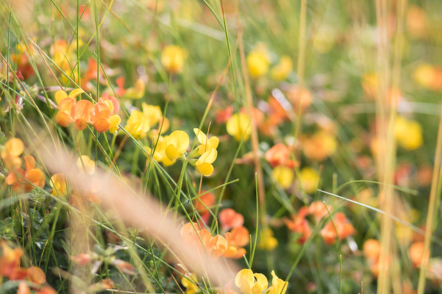 Birdsfoot Trefoil, on the cliffs