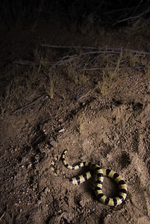 Mohave Shovel-Nosed Snake (Chionactis occipitalis occipitalis) | by David A. Burkart
