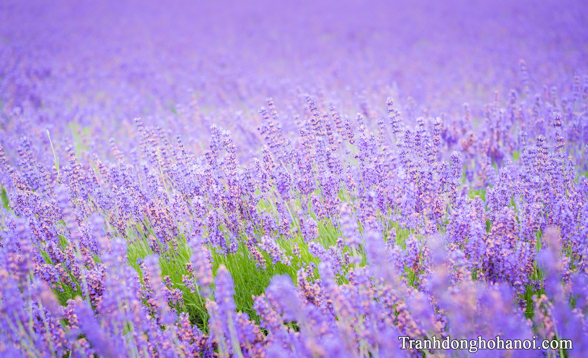 Beautiful lavender flowers hd AmiA