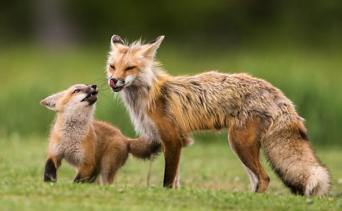 "IMG_1192 ""Foxy"", Red Fox Female and Kit 